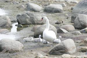 Птиц можно встретить не только на территории заповедника – прекрасная пара лебедей со своим милым потомством прекрасно чувствовала себя в сотне метров от пляжа Пикакари, расположенного рядом с ним.
