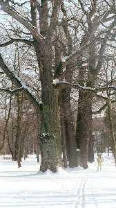 Среди тысяч деревьев Кадриорга более четырехсот дубов, и шестьдесят из них старше самого парка, им по триста и более лет, а возраст четырехствольного дуба перевалил за пять столетий.