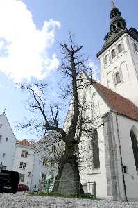 Липа Кельха - старейшее «именное» дерево Таллинна.