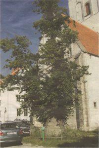 Липа Кельха на подворье церкви Нигулисте — старейшее дерево Таллинна.