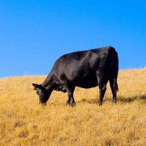 чёрная корова